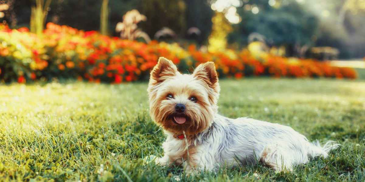 Beautiful-Yorkshire-Terrier-Dog-on-the-green-grass-000085927165_Full.jpg